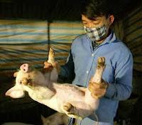 flu babi atau swain flu