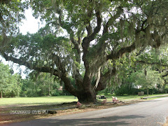 McClellanville Live Oak NOT destroyed by Hurricane Hugo