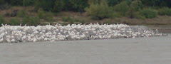 Why a bazillion pelicans flocked along the MS River we'll never know