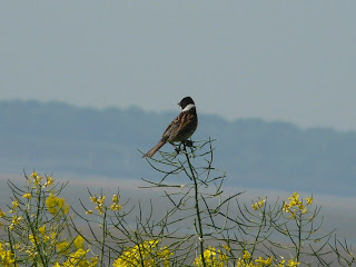 Reed Bunting, Hale Head