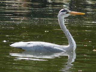 Grey Heron, Calderstones Park