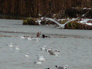 Ring-Necked Duck, Marton Mere