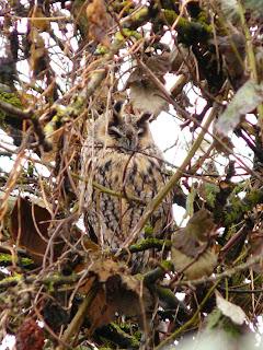 Long-Eared Owl, Marton Mere