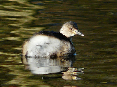 Little Grebe, Sefton Park