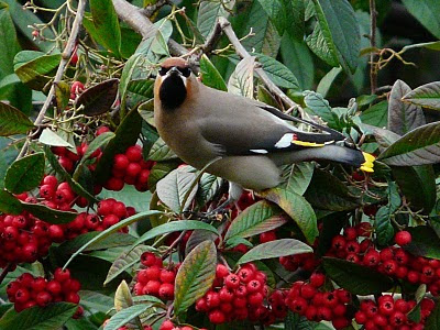 Waxwing, Liverpool City Centre