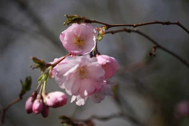 Un lundi de Pâques Prunus