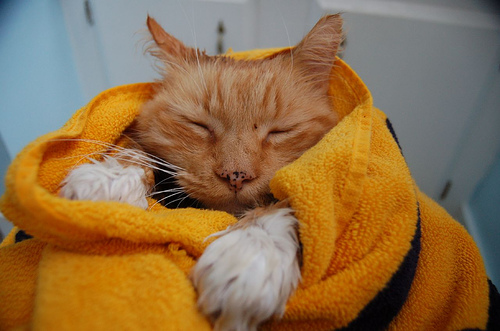 8 consejos para ba ar a tu gato con buena nota - Banar gatos ...