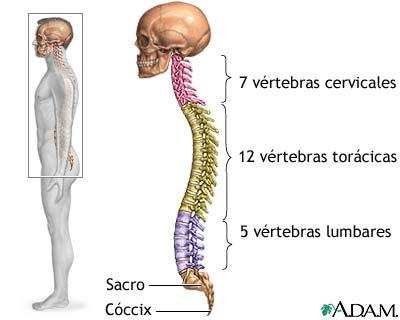 El cuerpo humano.: Esqueleto Apendicular y Axial.