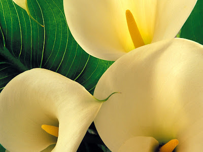 cala lily tattoo. Tattoos of several flowers including lilies.