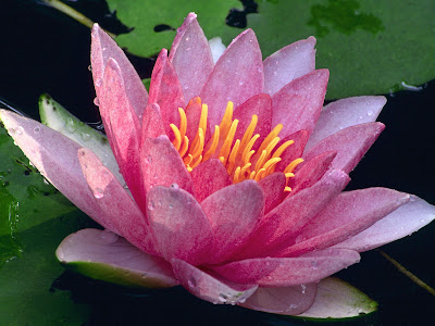 water lily tattoo. Size:500x667. Flowers Wallpapers part 10
