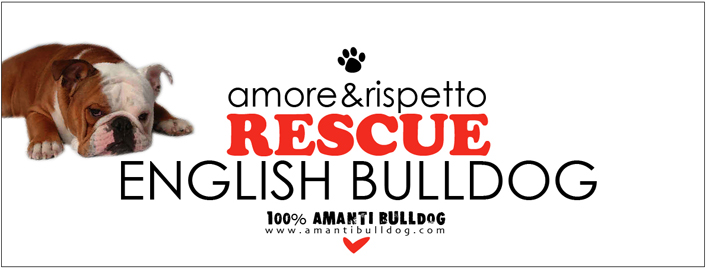 RESCUE ENGLISH BULLDOG