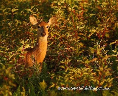 Deer looking at Robert Rafton, Toronto photographer Robert Rafton