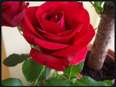 http://1.bp.blogspot.com/_8BMcbsZ4YSE/SbNM5_GQ23I/AAAAAAAAExE/N6bOIJEZ0vw/s400/rosa_vermelha_para_mulheres.jpg