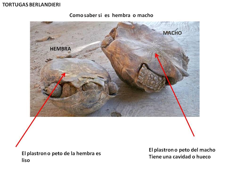Criador de la tortuga de tierra gopehrus berlandieri como for Como saber si clausula suelo