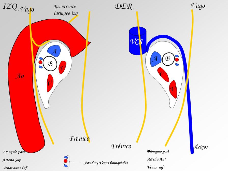 Anatomía Normal: Relaciones de los pediculos pulmonares