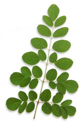 malunggay can be used as water purifier essay Aside from its potential as biofuel feedstock, the seed of moringa, locally known  as malunggay, could also be used for treating water, a filipino.