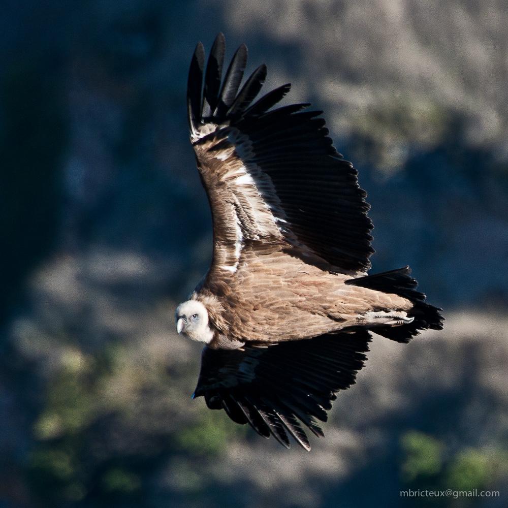 Griffon Vulture - Parque NAcional del Rio Duratón, Spain
