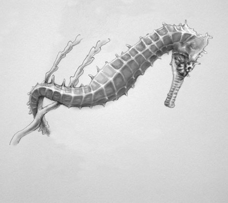 a study on the seahorse Most people come across seahorses in books or aquariums biologists who study  syngnathids (seahorses and pipefish), might come across.