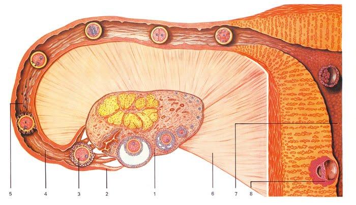 eggløsning test Nesoddtangen