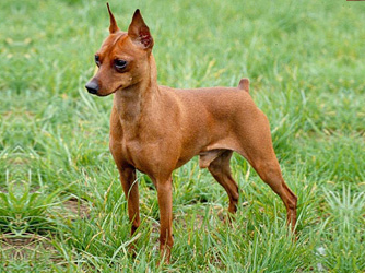 Purebred red Miniature Pinscher whose ears and tail have been cropped.