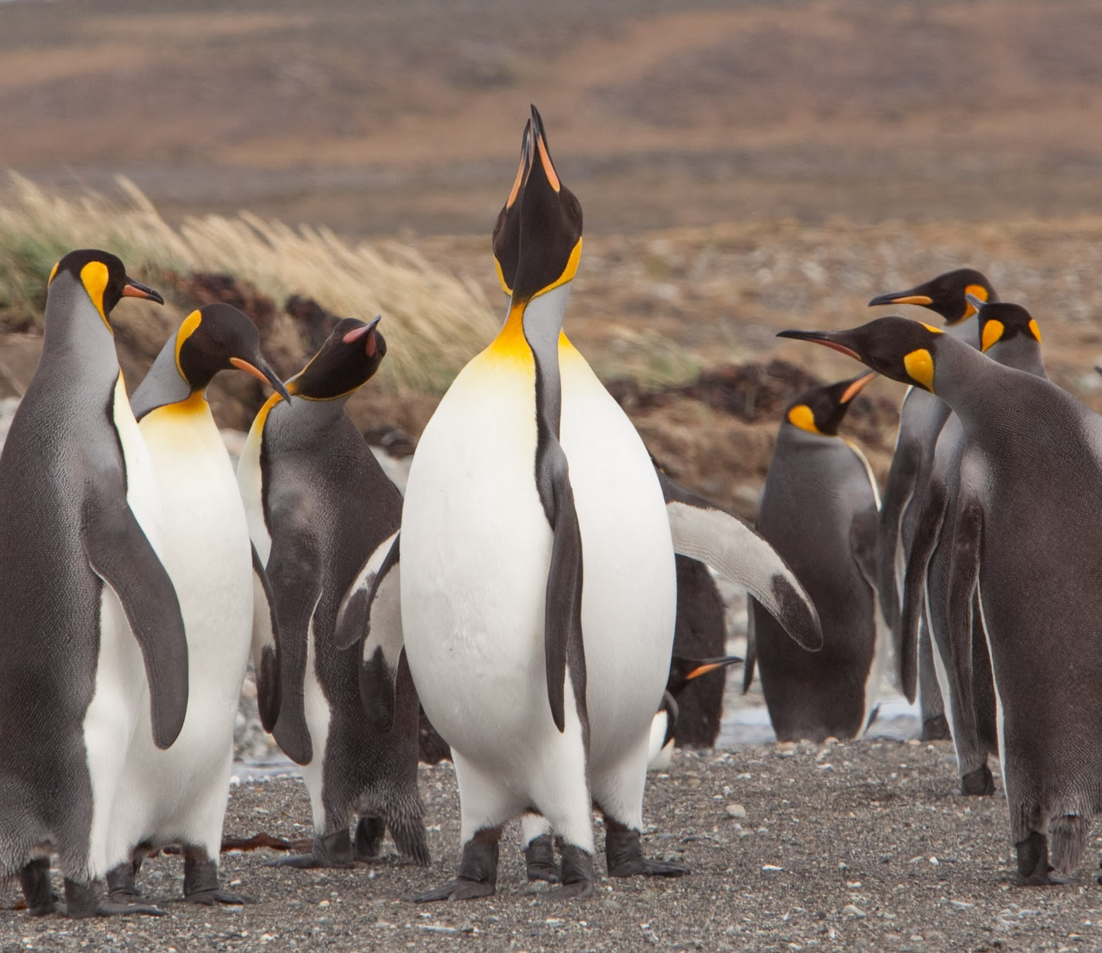 King Penguin Vs Emperor Penguin