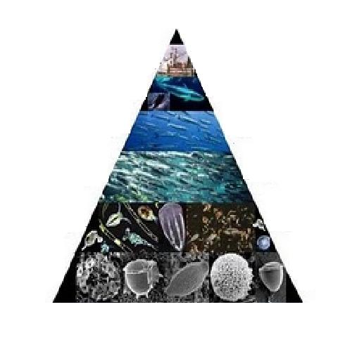 ecosistema del mar: piramide trofica
