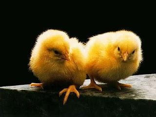 como criar de pollos bebes