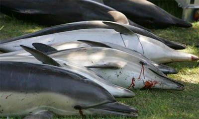 Rio Percuil, Cornwall - Inglaterra: Golfinhos Mortos