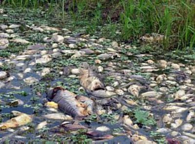 Dead Fish on Where Mato Grosso Do Sul State Midwest Region Of Brazil