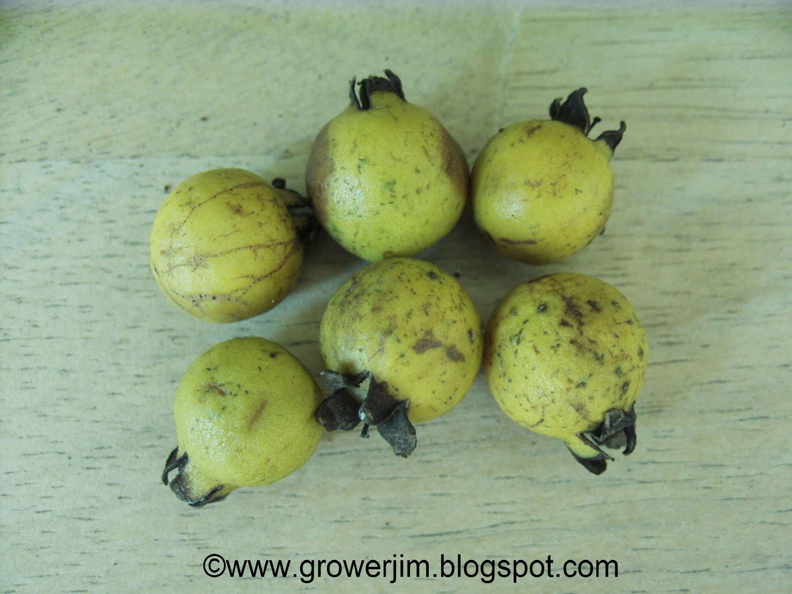 Cattley Guava Grows As A Large Shrub Or Small Tree, Usually Reaching 1215  Foot In