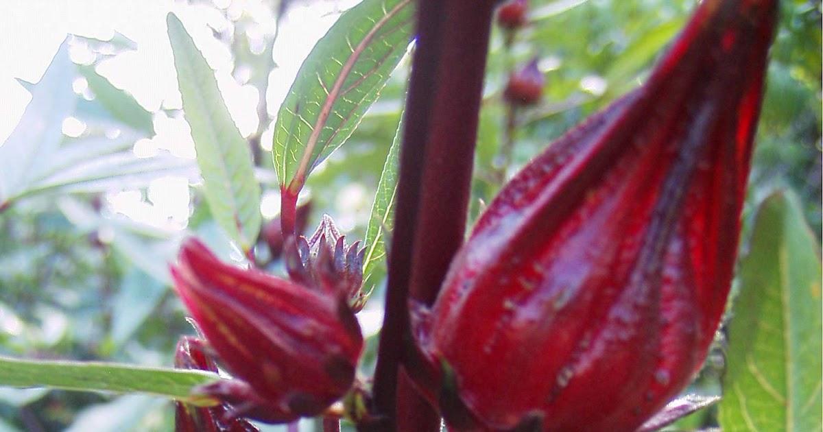 Garden Adventures Hibiscus Sabdariffa Roselle