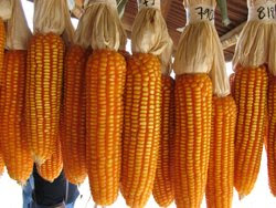 BT Corn