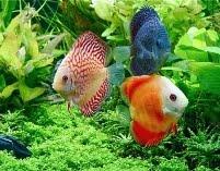 Discus adoram um aquário bem plantado!