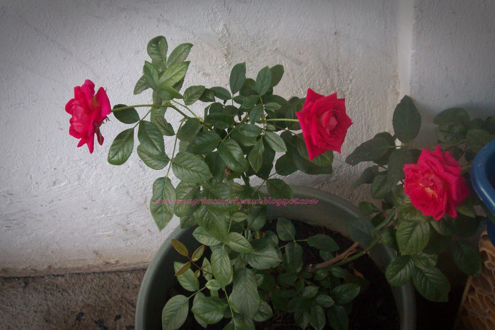 Imagenes De Flores Teresitas - Anterior Vicaria, Vinca de Madagascar (Catharanthus Roseus)