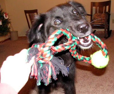 dog with tug toy