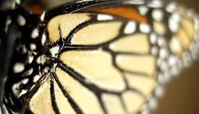 Alas de mariposas en Caracoladas