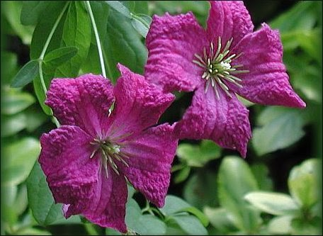 clematis clematis viticella 39 abundance 39. Black Bedroom Furniture Sets. Home Design Ideas