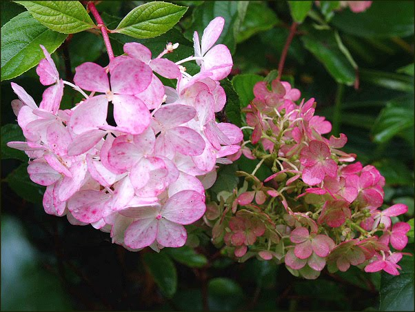 hydrangea paniculata die rispenhortensie 39 vanille fraise 39. Black Bedroom Furniture Sets. Home Design Ideas