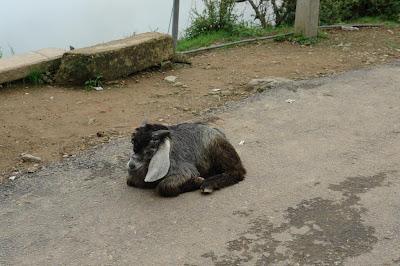 A goat in Dharamshala