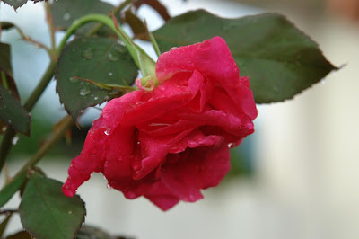 A red rose after rain