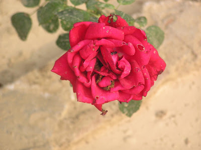 Photo of once beautiful red rose