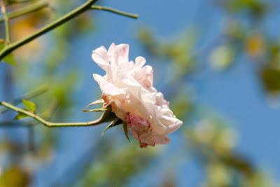 A close up of a pink rose