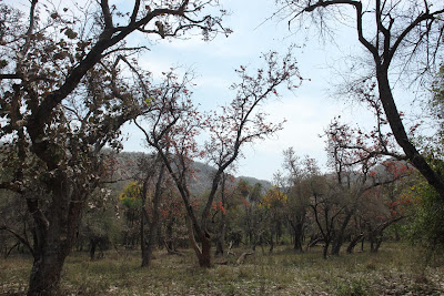 Trees in Sariska