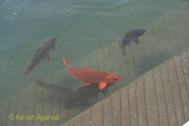 Red and black fish (maybe trout and carp) in the Golden Temple sarovar in Amritsar