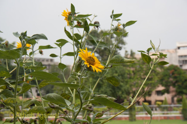The sunflower stands against the blue sky in the Jallianwala Bagh (garden) in Amritsar