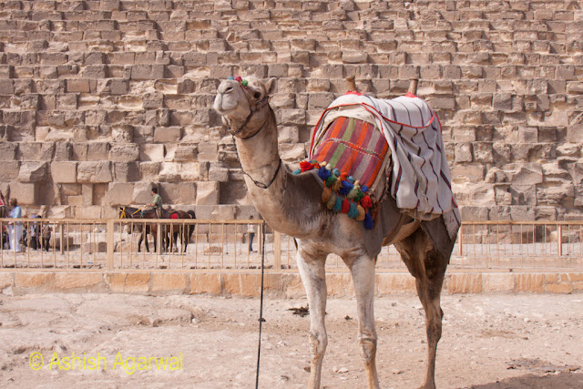Cairo Pyramids - View of decorated camel posing in front of the Great Pyramid in Giza