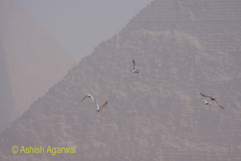 Pigeons in full flight, as viewed with the background of the Great Pyramid in Giza