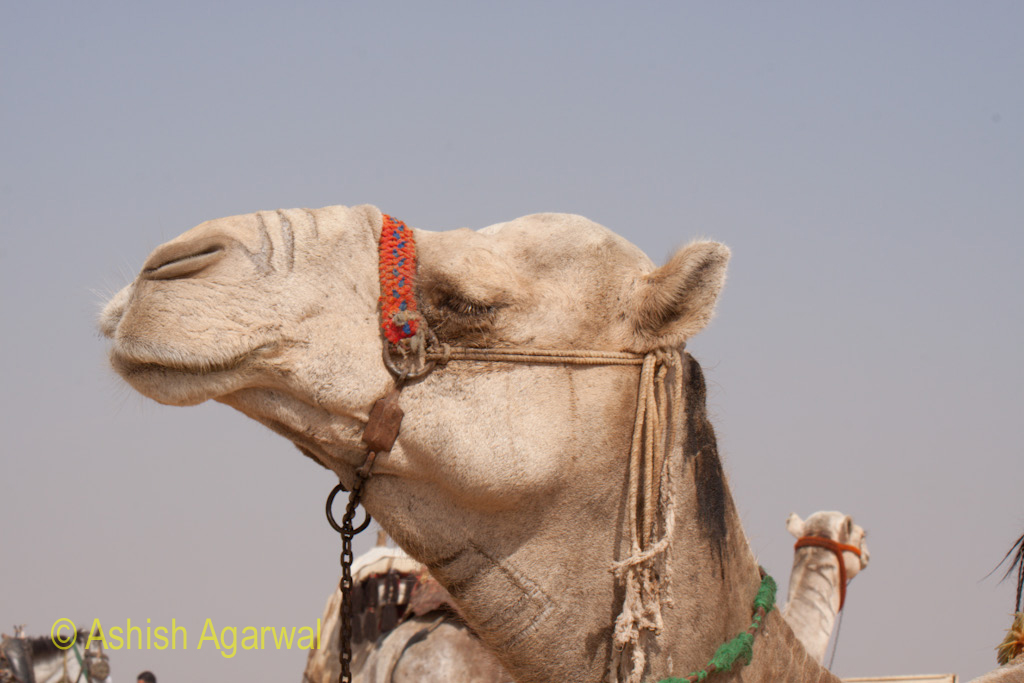 The head of a camel, at the Panorama Point in Giza