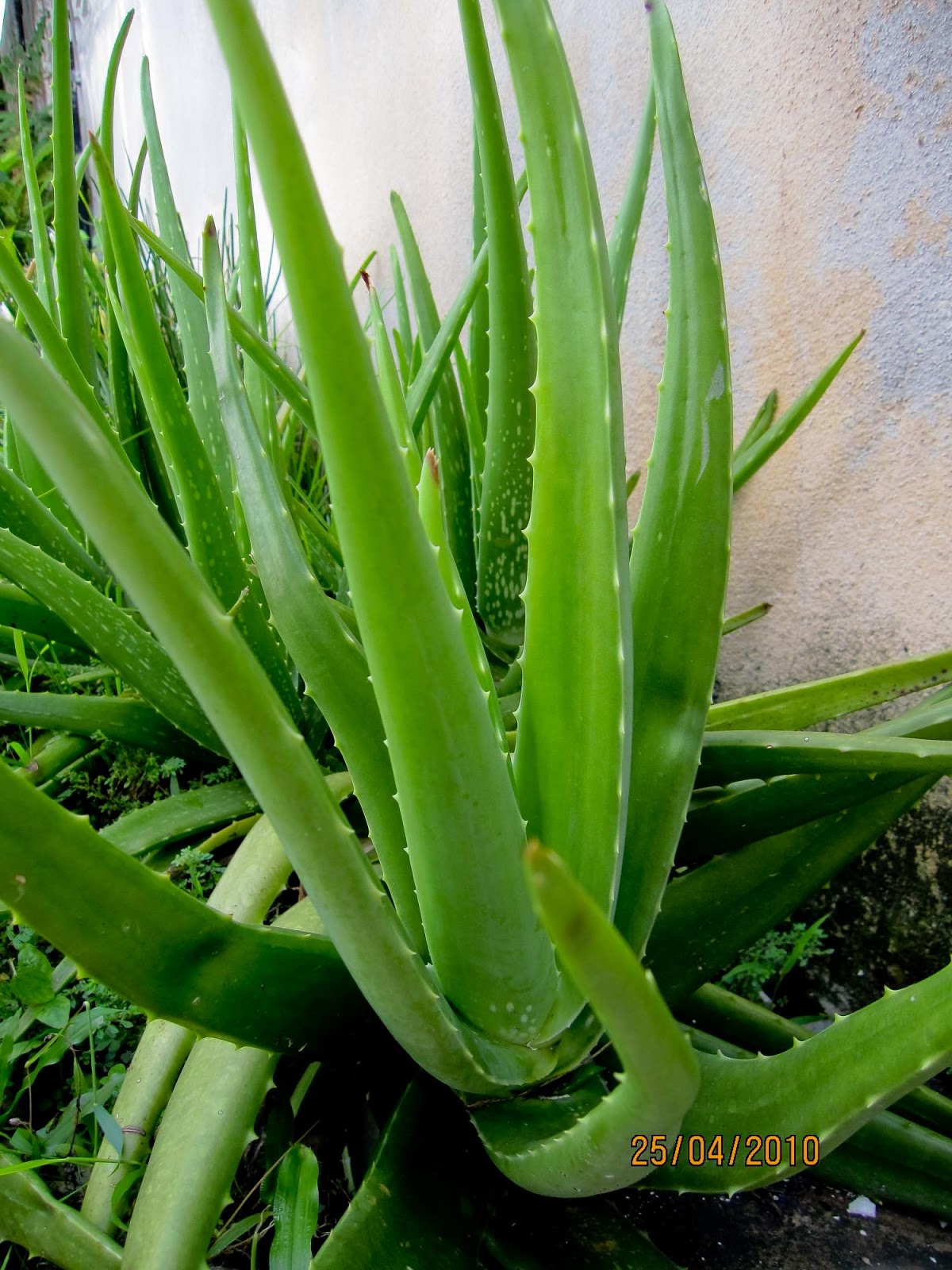 Aloe Vera Harvest The Leaves Of Aloe Vera Can Harvest  Apps