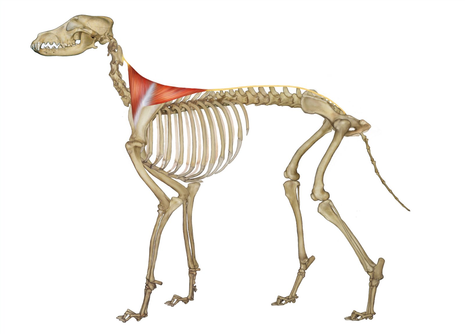 Dog Anatomy Illustrations | Luisa van Erven